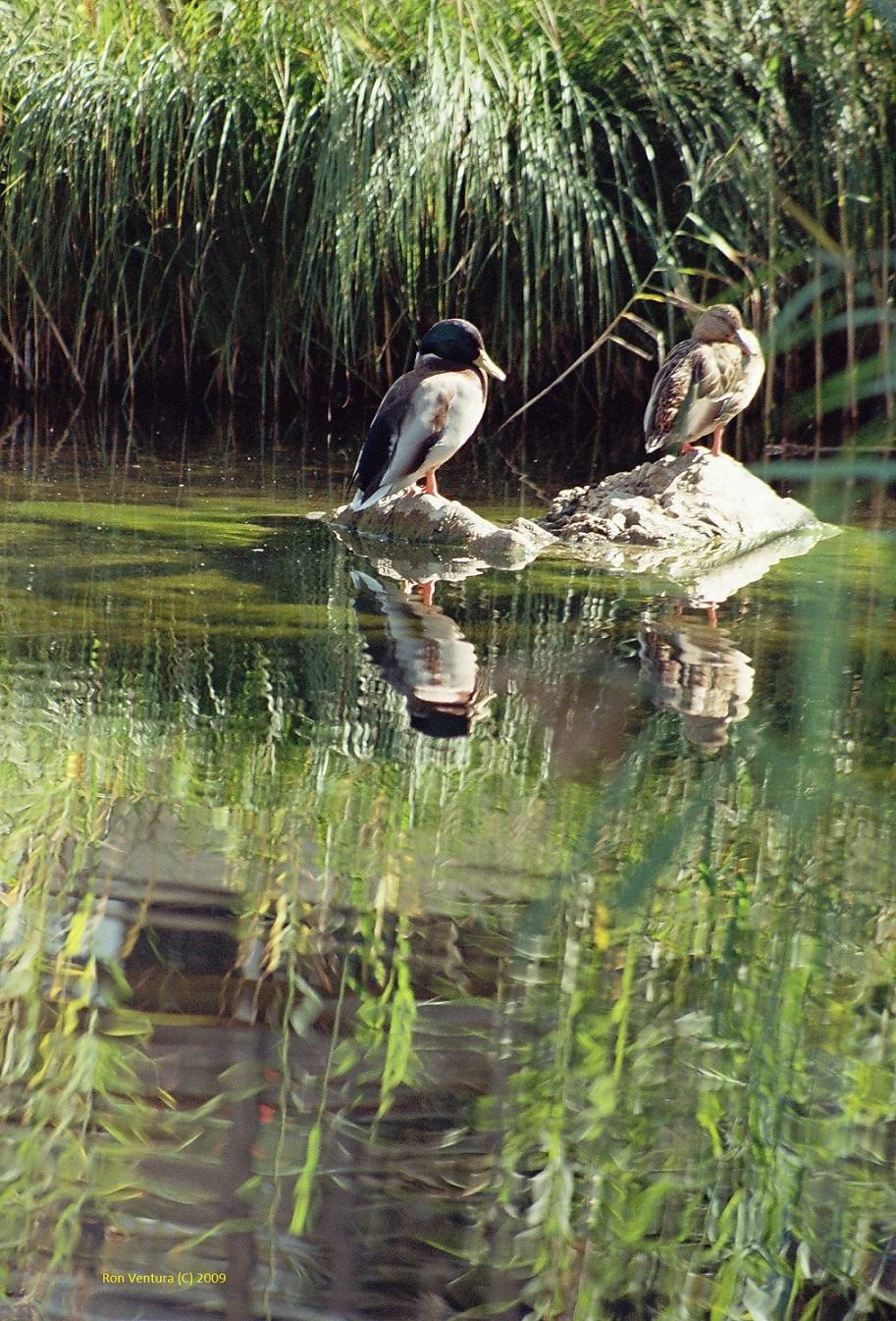 A Couple of Ducks Pausing on Rocks